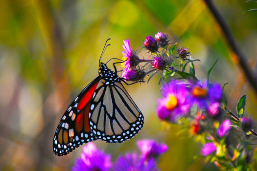 Monarch Butterfly at St James Farm in Sept 4
