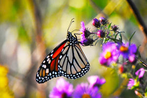 Monarch Butterfly at St James Farm in Sept 5