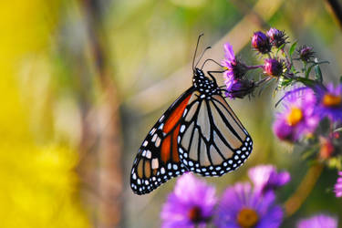 Monarch Butterfly at St James Farm in Sept 6