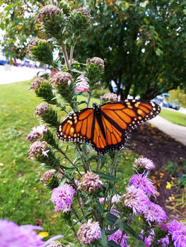 Monarch Butterflies on Purple Flowers 4