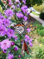 Monarch Butterflies on Purple Flowers 5