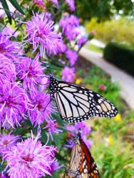 Monarch Butterflies on Purple Flowers 6