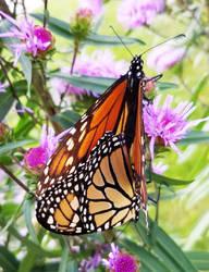 Monarch Butterflies on Purple Flowers 9