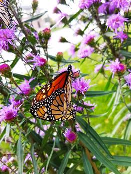 Monarch Butterflies on Purple Flowers 10