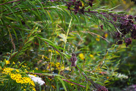 Swamp Sparrow at Mt St Marys Park in Sept 2