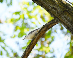 White Breasted Nuthatch at Mt St Marys Park in Sep