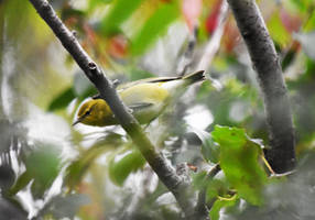 Baybreasted Warbler at Blackwell in Sept 9