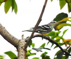 Black and White Warbler Warbler at Blackwell in Se