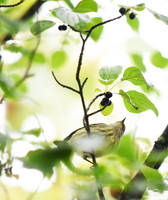 Blackpoll Warbler at Blackwell in Sept 2