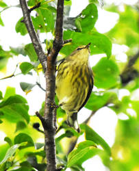 Blackpoll Warbler at Blackwell in Sept 9