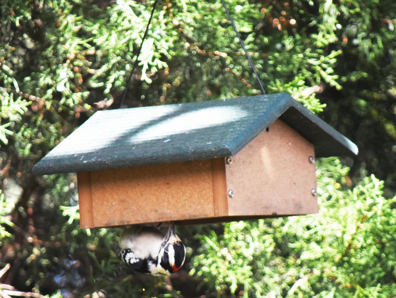 Downy Woodpecker Outside Wild Birds Unlimited 1 By Haleygottardo On Deviantart