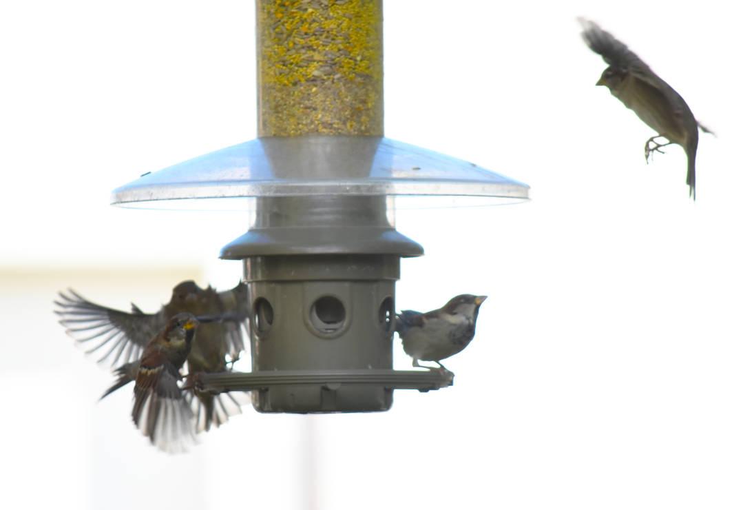 House Sparrows Outside Wild Birds Unlimited 3 By Haleygottardo On Deviantart