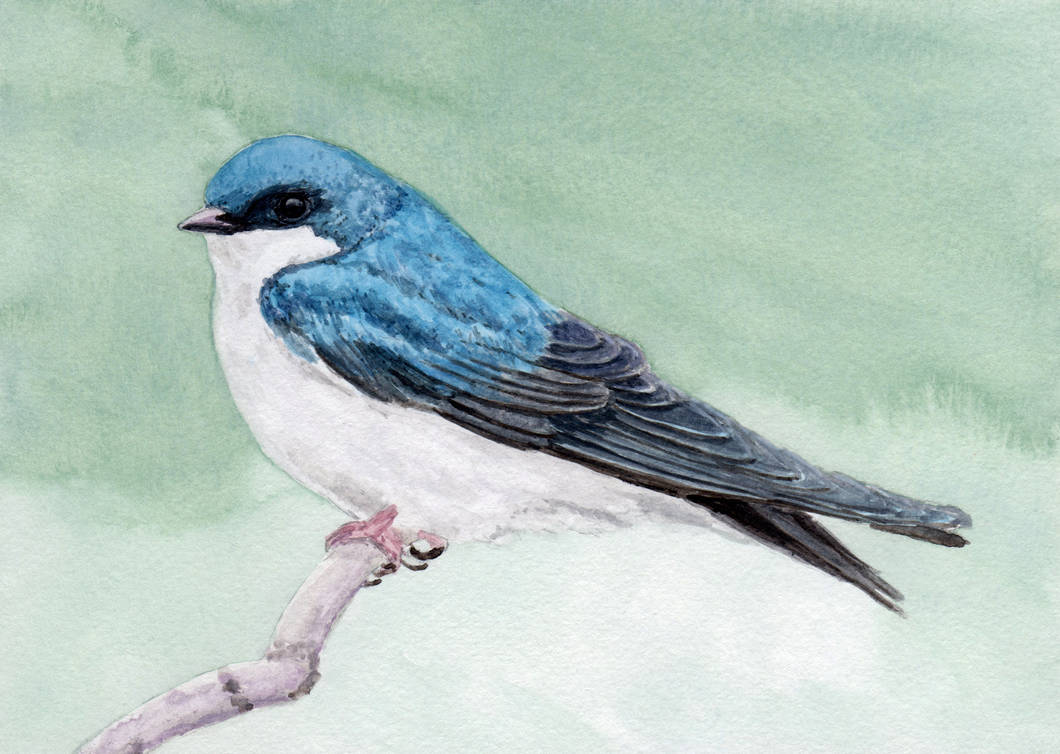 Tree Swallow in Watercolor