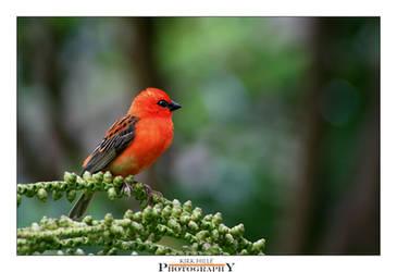 Little Red Robin Hood by Furiousxr