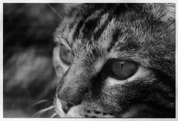 Wild Cat by aeoleo