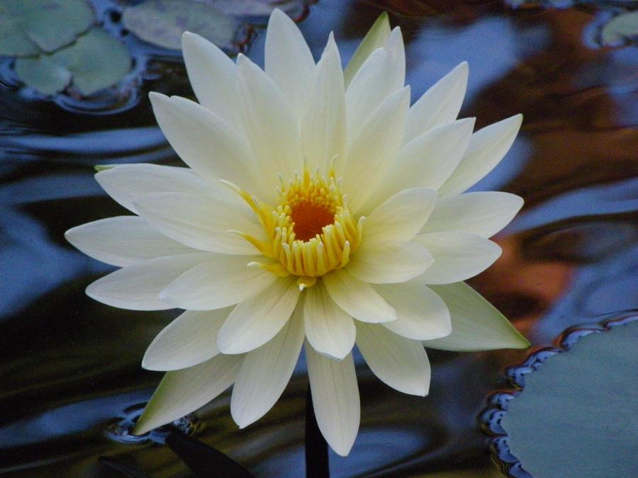 White Waterlily by foto-ragazza14