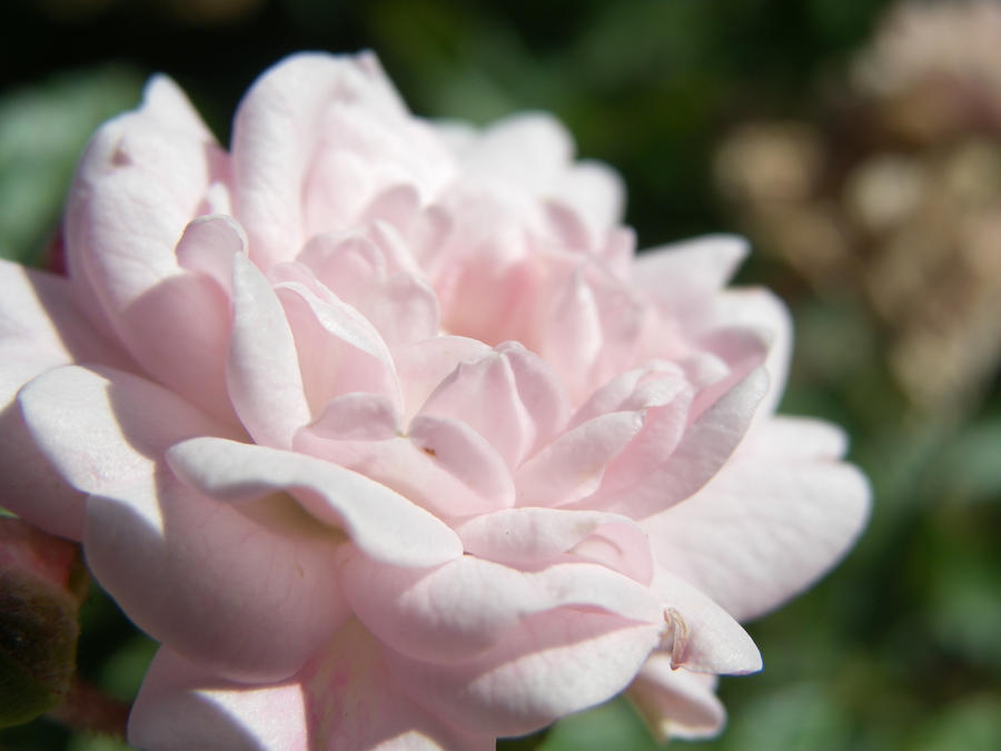 Un Fiore Rosa by foto-ragazza14
