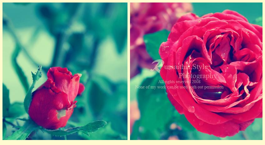 . . R O S E . . by RumaithiaStyle
