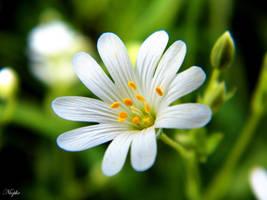 pale beauty in the meadow by Niophee