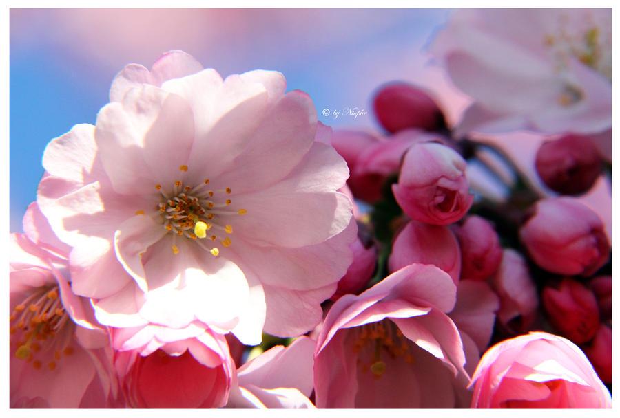 Cherry Spring by Niophee