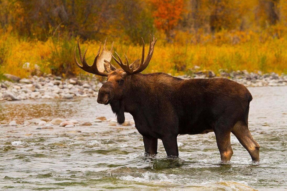 Aqua Moose by StevenDavisPhoto