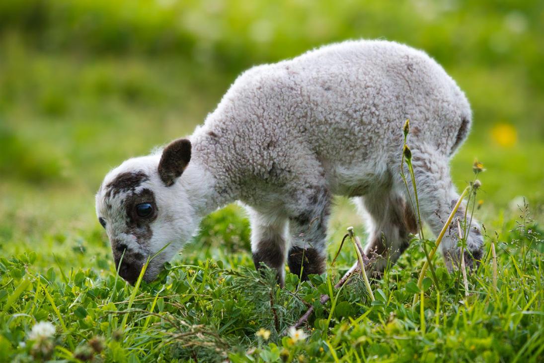 Baby Lamb by StevenDavisPhoto