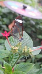 Glasswing Butterfly(Greta oto) by Penguinking231