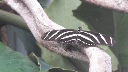 Zebra longwing'Heliconius charithonia' by Penguinking231