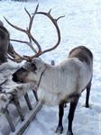 Deer) by Alik-Volga