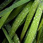Starry Grasses