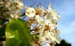 White Cherry Blossoms Wall I