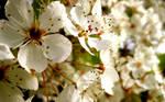 White Cherry Blossoms Wall II