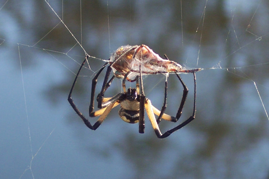 Spider Wrapping Prey