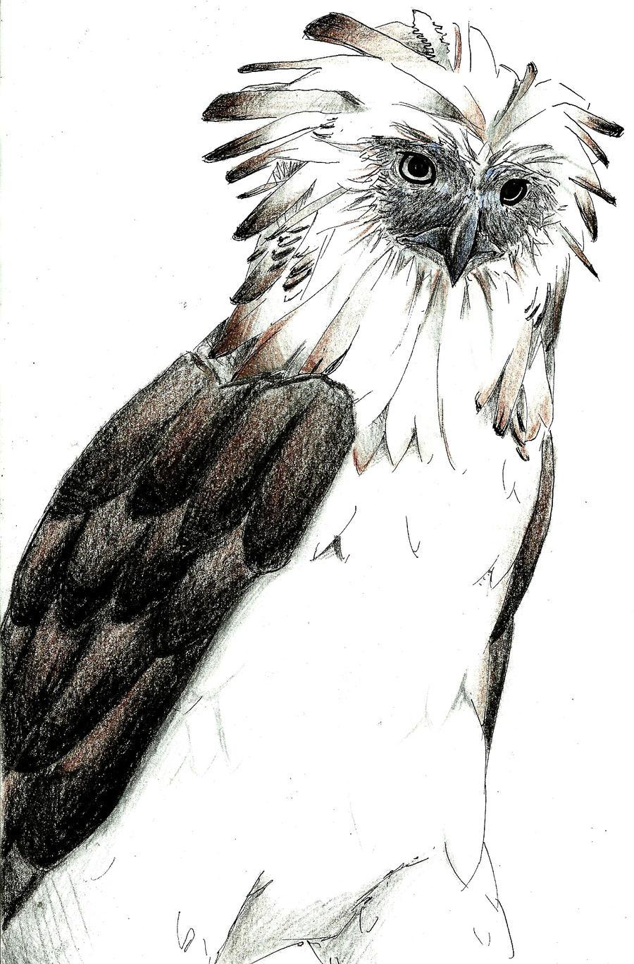 Philippine Eagle by prinssun on deviantART