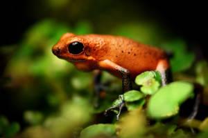Strawberry poison dartfrog by MireilleLeurs