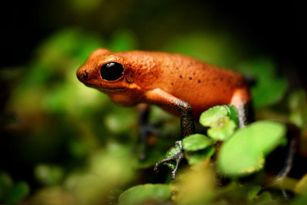 Strawberry poison dartfrog by MireilleLeurs