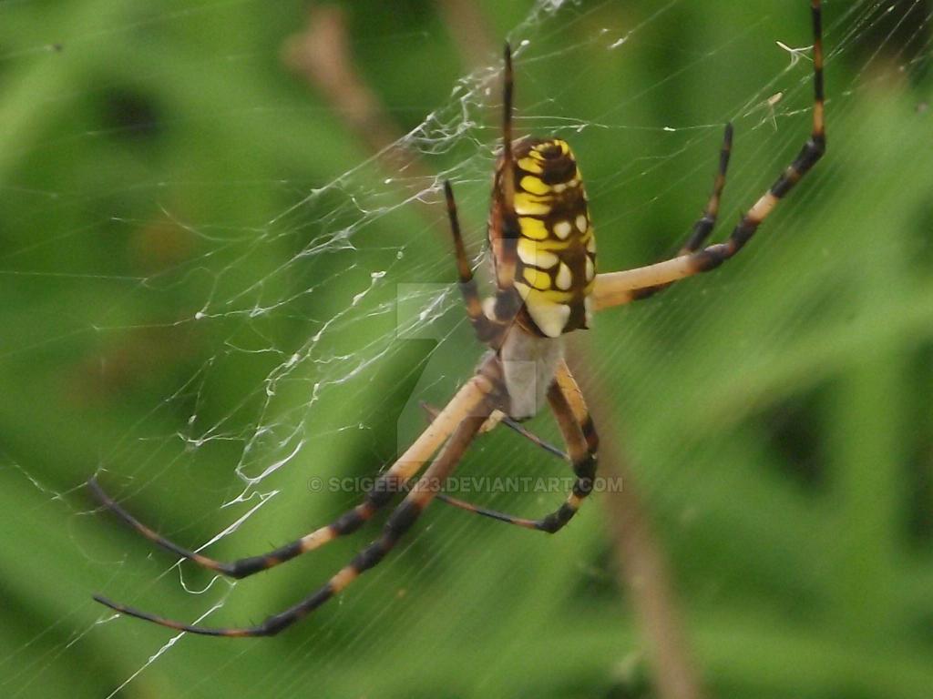 Spider by scigeek123