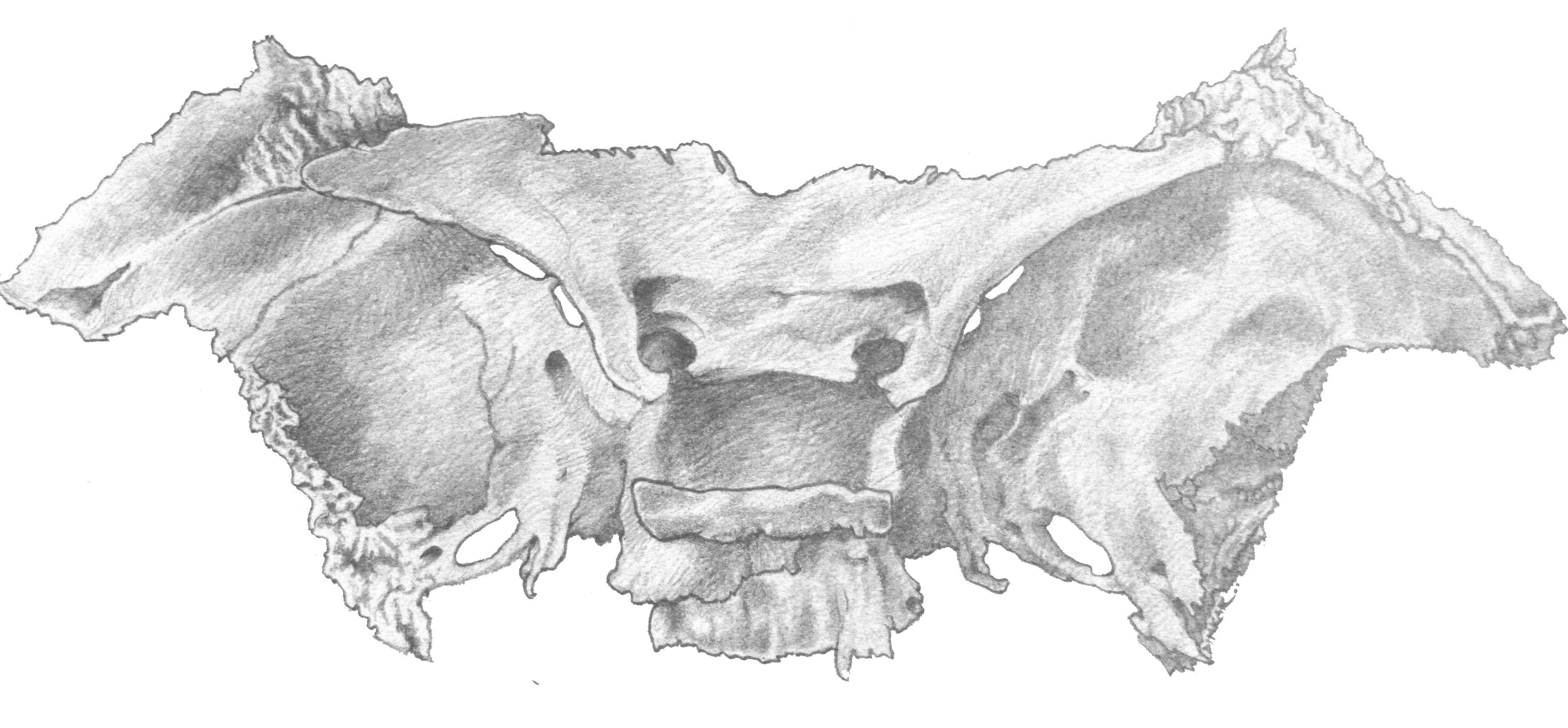 sphenoid bone by dinnius on deviantart, Human Body