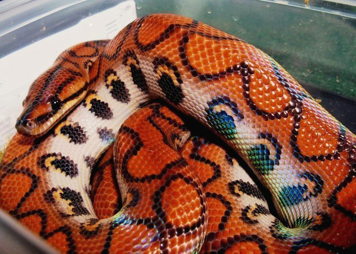 Brazilian Rainbow Boa by NapalmPrincessBrazilian Rainbow Snake