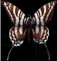 Zebra swallowtail by momma-kuku