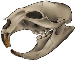 Skull - Beaver by momma-kuku