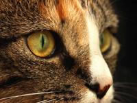Kedilerin gözleri geceleri neden parlar?