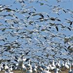 Kuşlar neden göç eder?