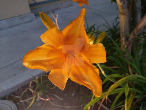Underlit Lily
