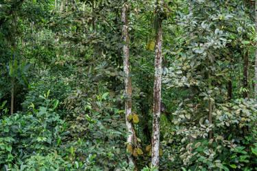 Jackfruchtbaum by Freacore