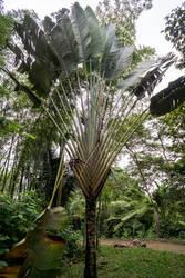 Baum der Reisenden by Freacore