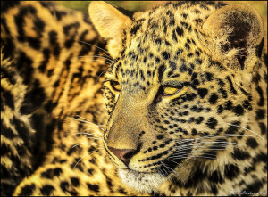Gold-Leopard's Profile Picture