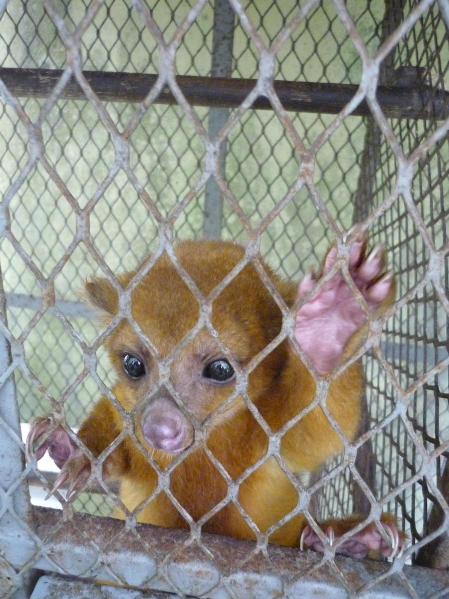 mico leon potos flavus by josuemz on deviantart