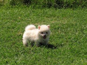 Pomeranian Pupster by TheBrokenSpirit