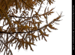 Larch Tree Autumn Foliage Cut Out By Manichysteria